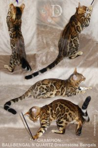 Bengal Stud Cat
