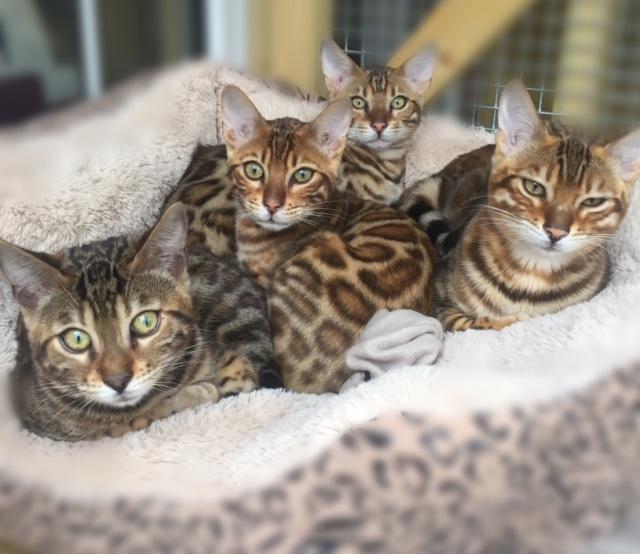Dreamstone Bengals Cat Kitten Breeder UK Staffordshire Dreamstone Bengals