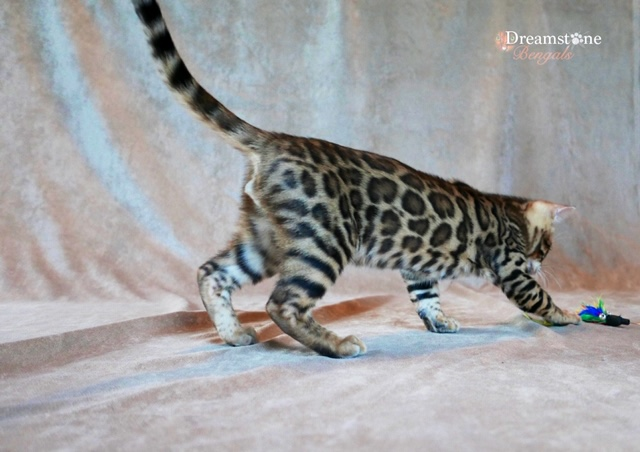 BENGAL KITTEN DREAMSTONE BENGALS UK