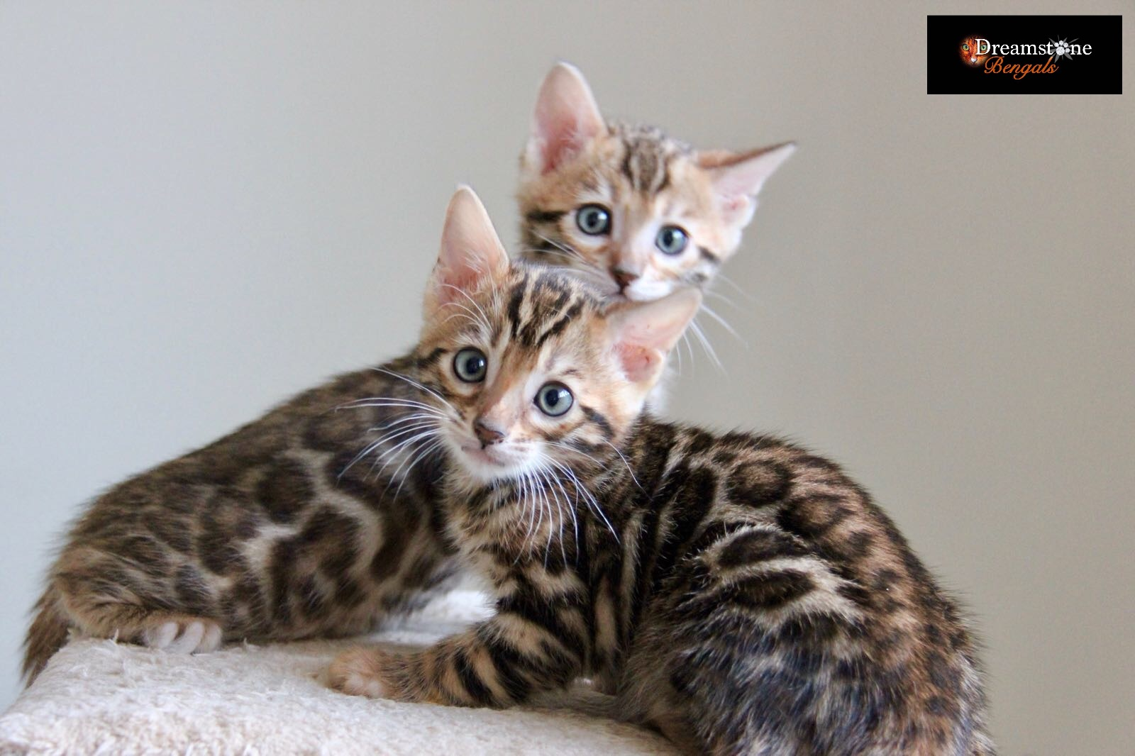 Bengal Cat Breeder UK